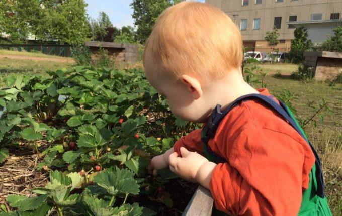 Die Helle Oase - Spielplatz - Kind pflückt Erdbeeren am Hochbeet