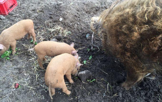 Tierhof Hellersdorf - Die Roten Mangalitza Wollschweine beim Fressen