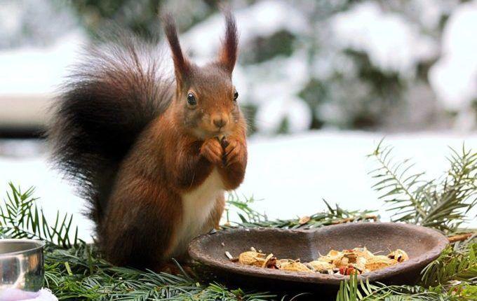 Kostenlose Kinderzeitschrift - Eichhörnchen im Winter an Futterstelle