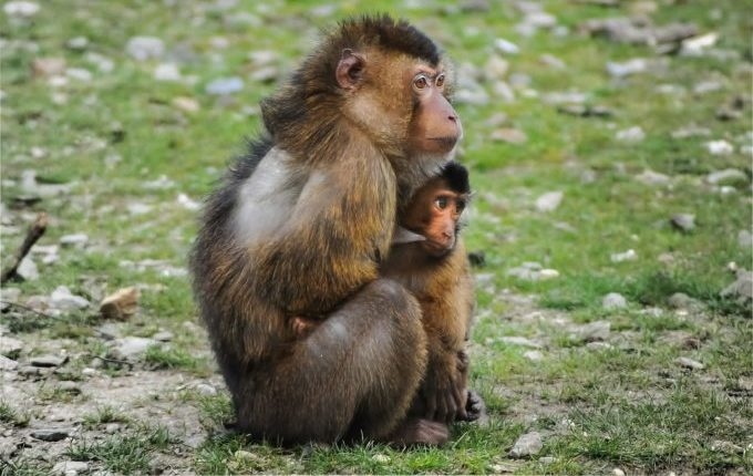 Stillprobleme - Mutter Affe stillt Affenbaby