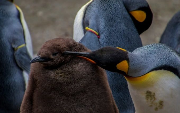 Wo ist meine Mama - Pinguin kümmert sich um Pinguinbaby