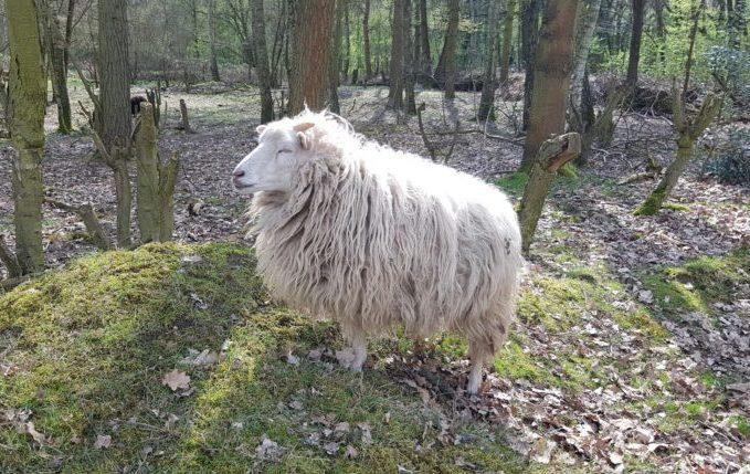 Museumsdorf Düppel - Schaf sonnt sich