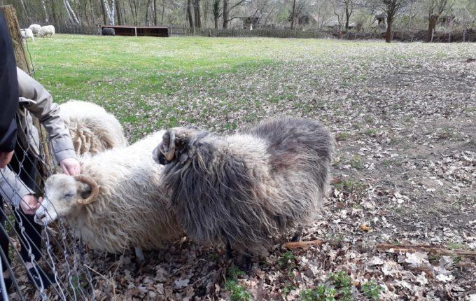 Museumsdorf Düppel - Schaf wird gekrault