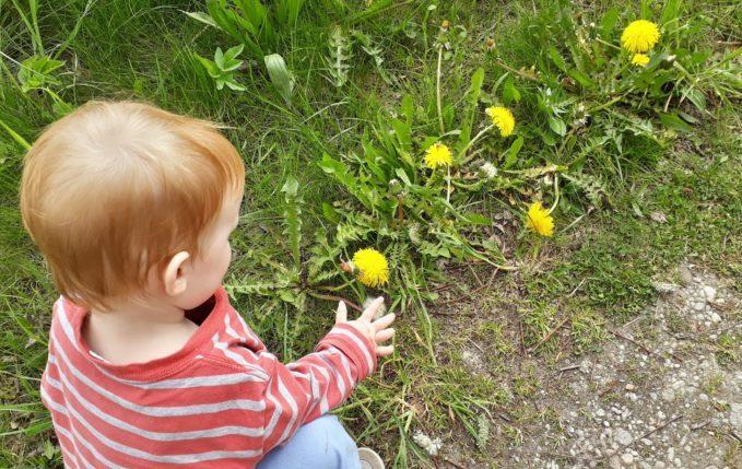 12 von 12 - Mai 2017 - Kind zeigt auf Löwenzahnblumen und Pusteblumen