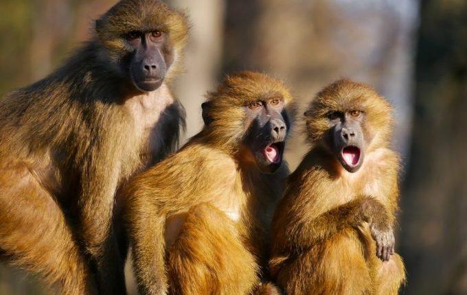 Drei Affen, zwei mit weit aufgerissenem Mund
