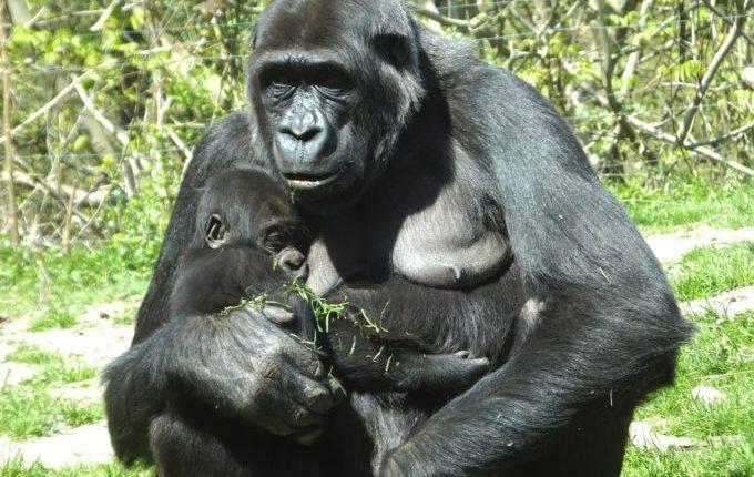 Menschenaffen Mutter stillt ihr Kind
