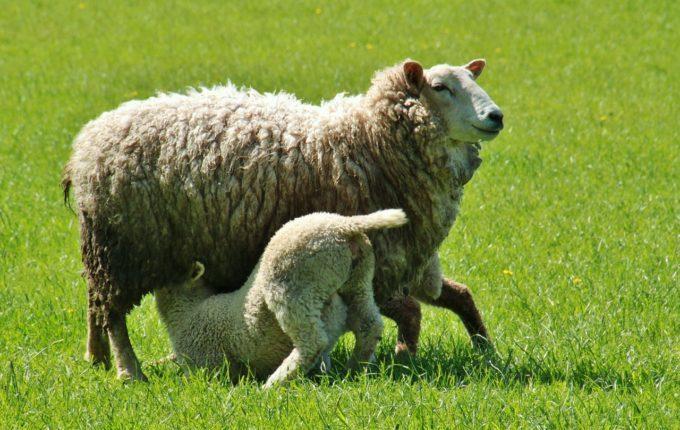 Lamm trinkt Muttermilch von Schaf