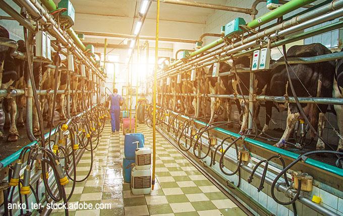 Kühe in der Milchindustrie in der Ukraine