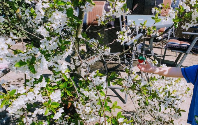 Hinweis für Schnitzeljagd - Erdbeere an Kirschbaum